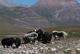 Yaks at Tosor Pass